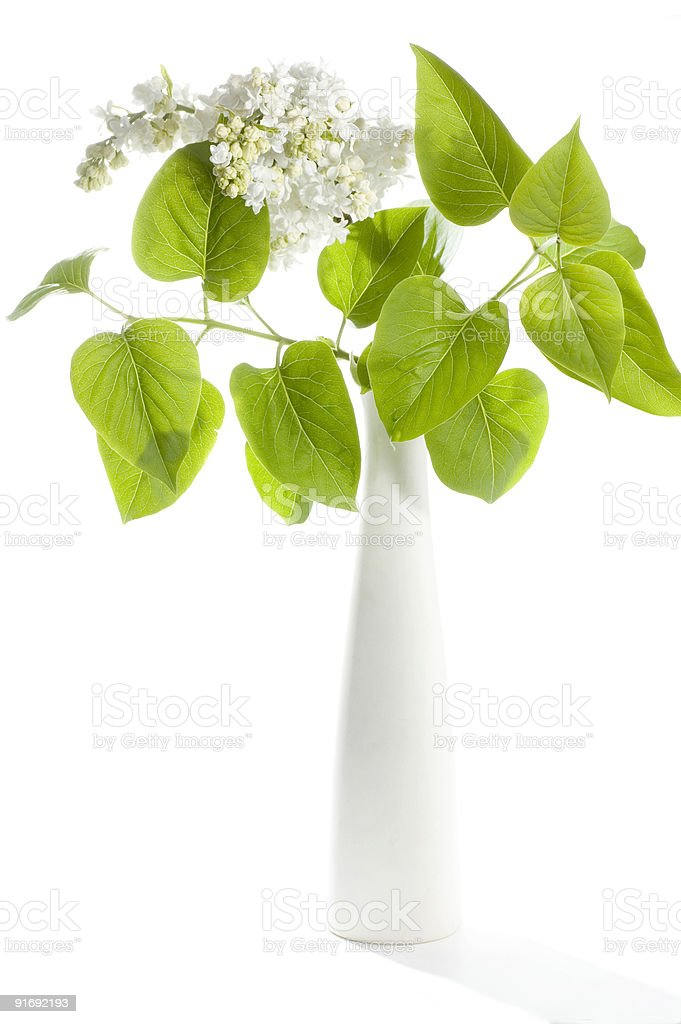 White lilac  in a porcelain vase. royalty-free stock photo