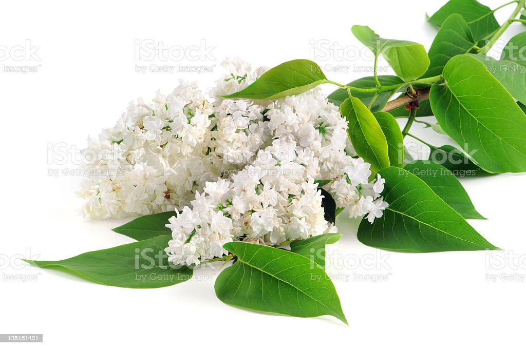 white lilac on isolated from background royalty-free stock photo