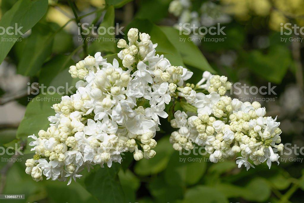 White lilac royalty-free stock photo