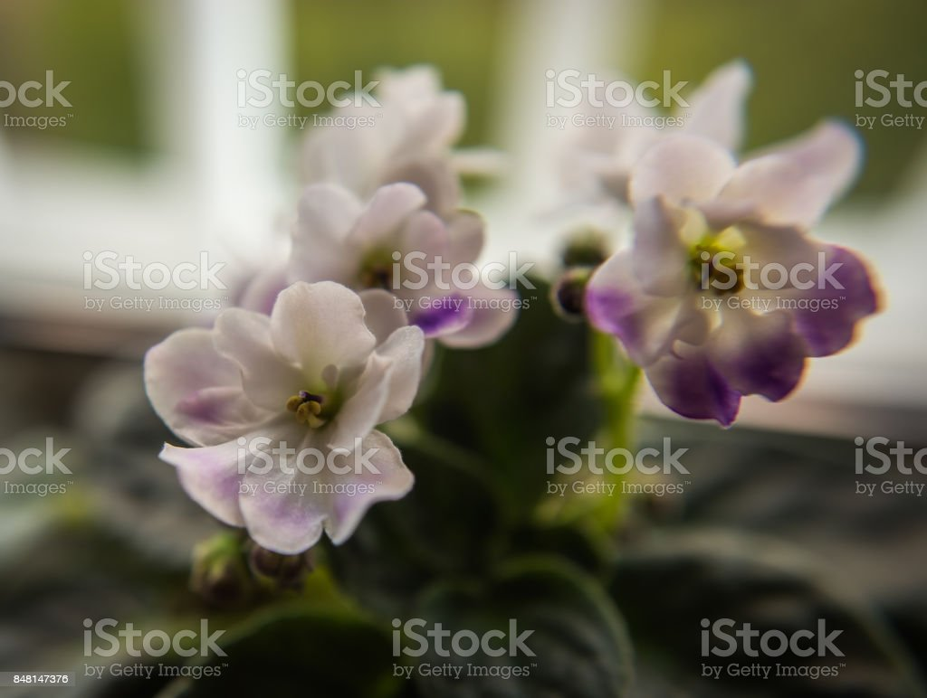 White lilac violets on a blurred background stock photo