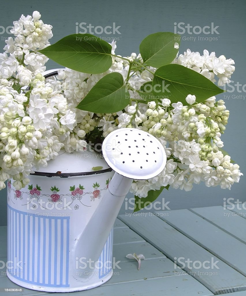 White Lilacs in a can royalty-free stock photo