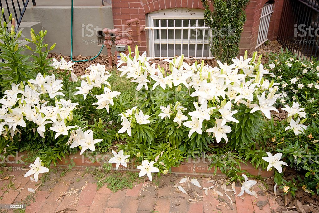 White Lilies Growing in an Urban Garden royalty-free stock photo