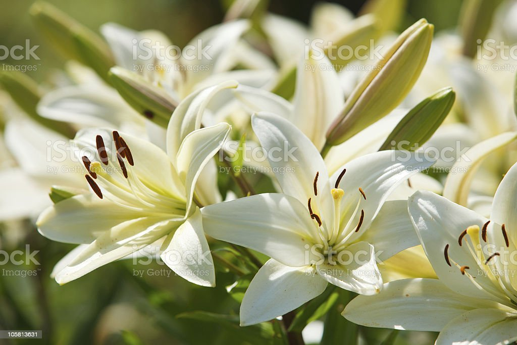 White lilies in a garden stock photo