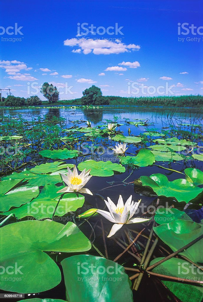 White lilies in a stagnant body of water during flood stock photo