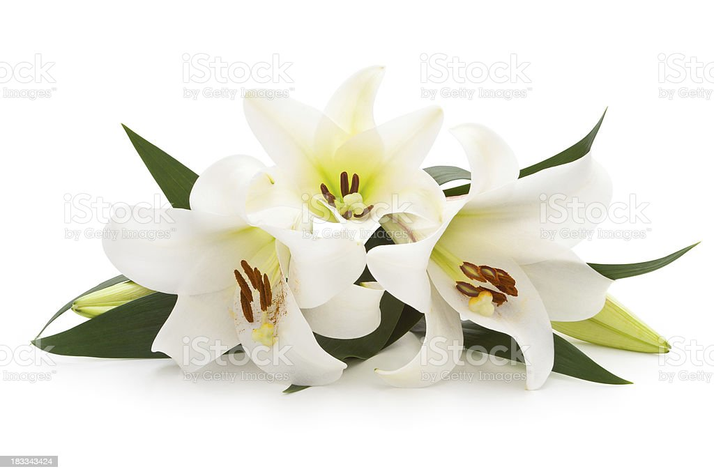 White Lilies. royalty-free stock photo