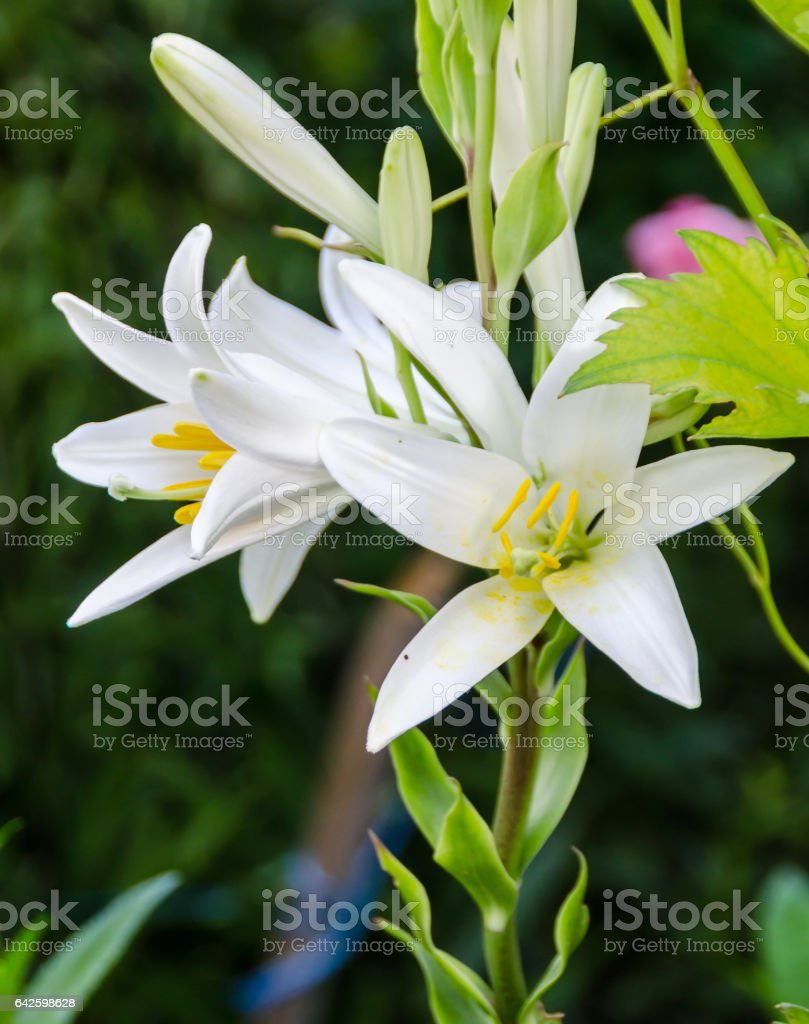 White Lilium flower (members of which are true lilies) stock photo