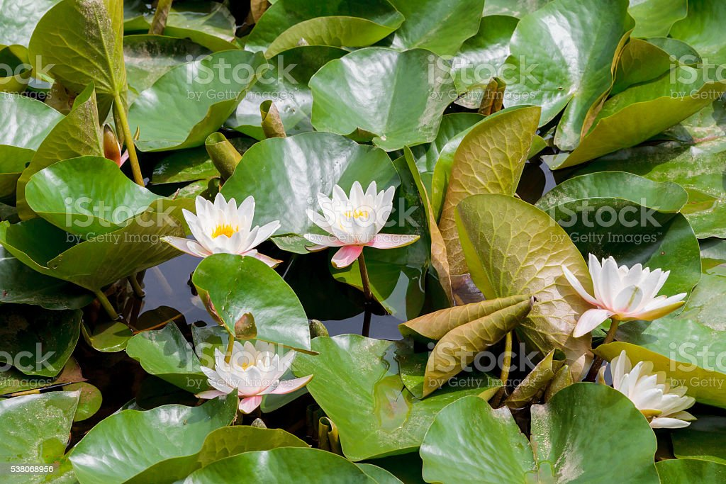 White Lillies and Green Lily Pad Leaves stock photo