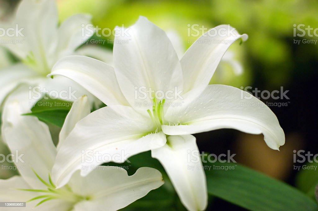 White lilly stock photo