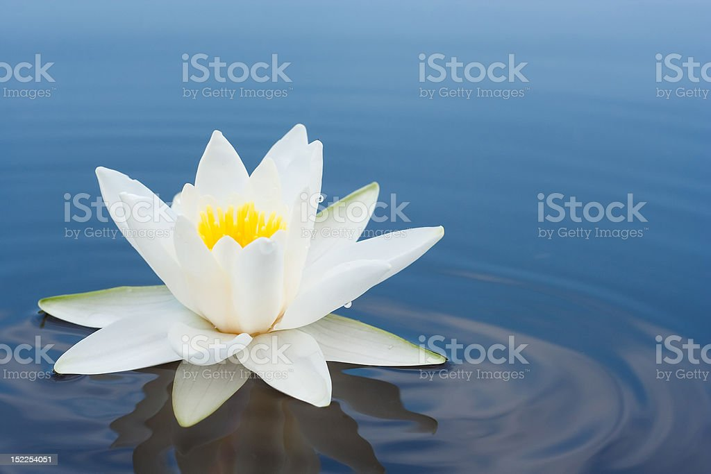 white lilly stock photo