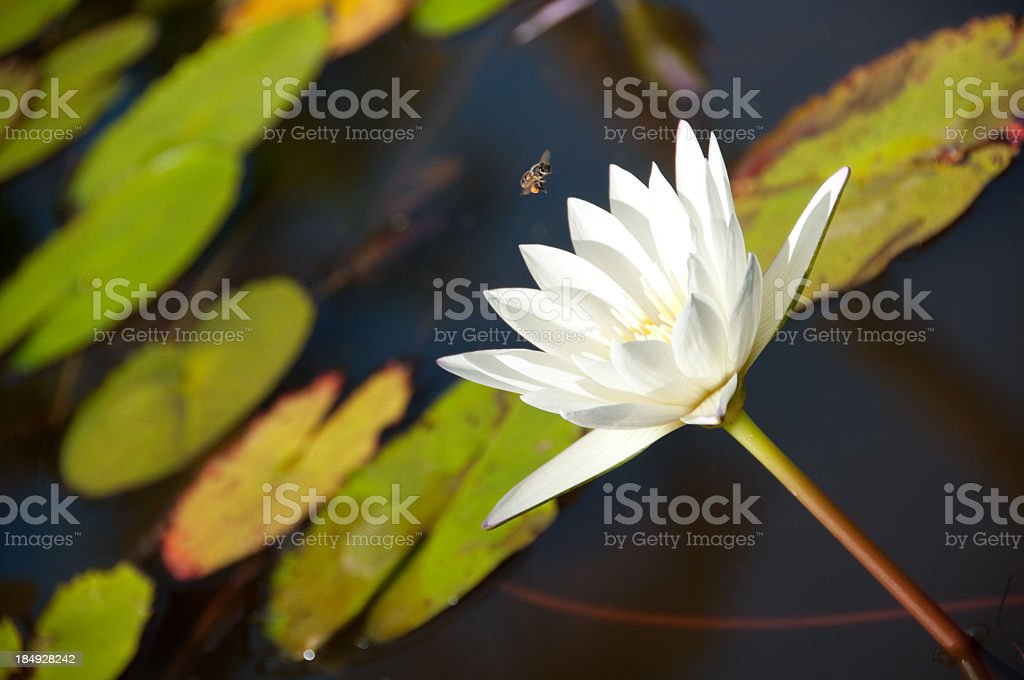 White Lilly with an approaching Bee royalty-free stock photo