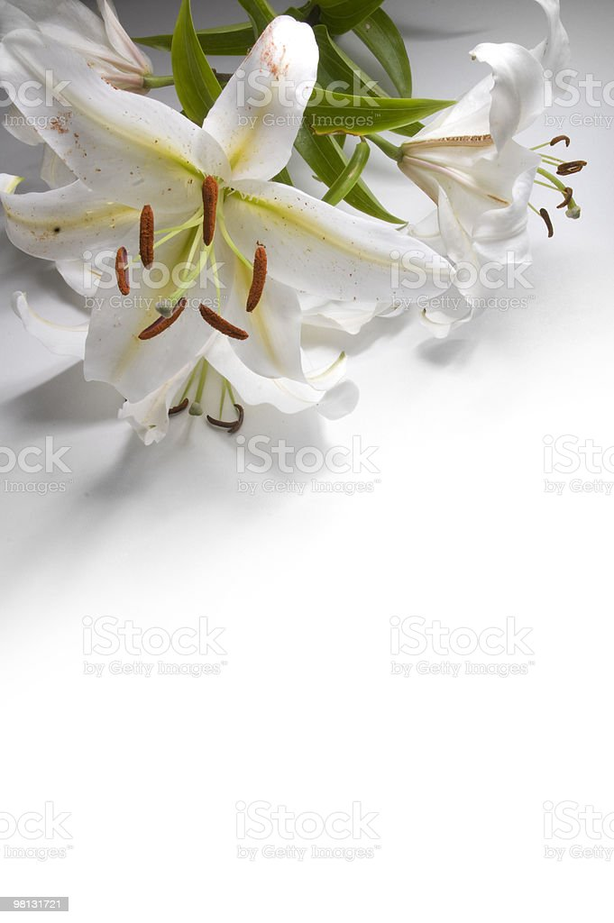 White Lilly with copy space stock photo