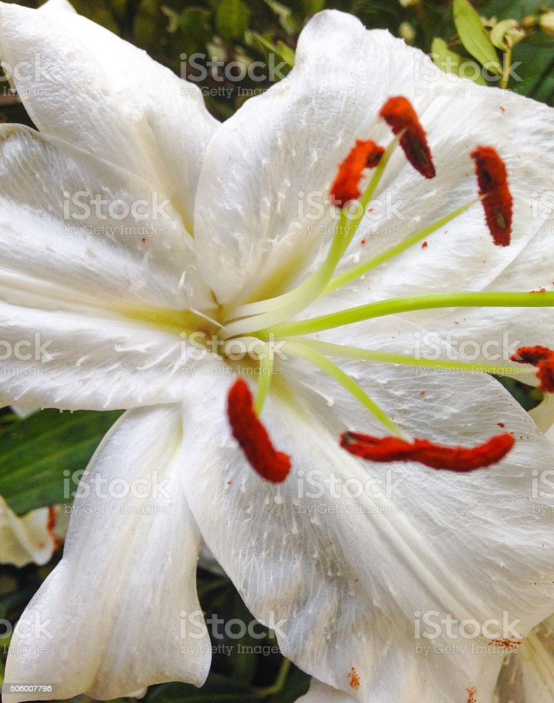 White Lily - Close Up - Stigma and Stamen stock photo