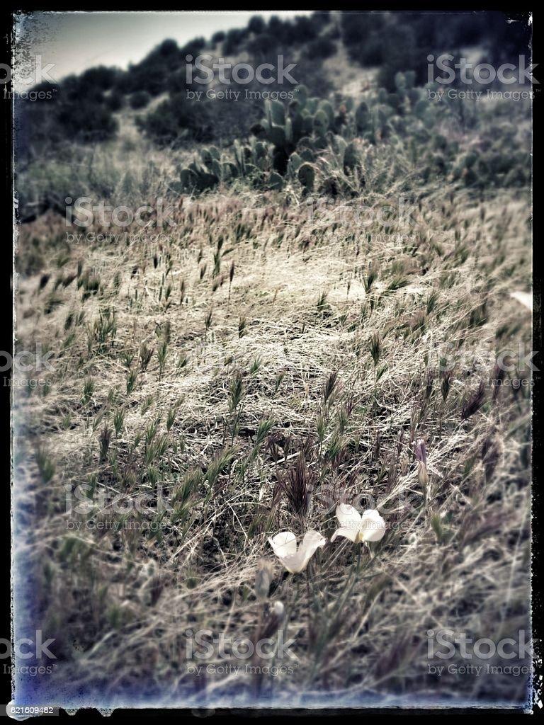 white lily desert wildflowers stock photo