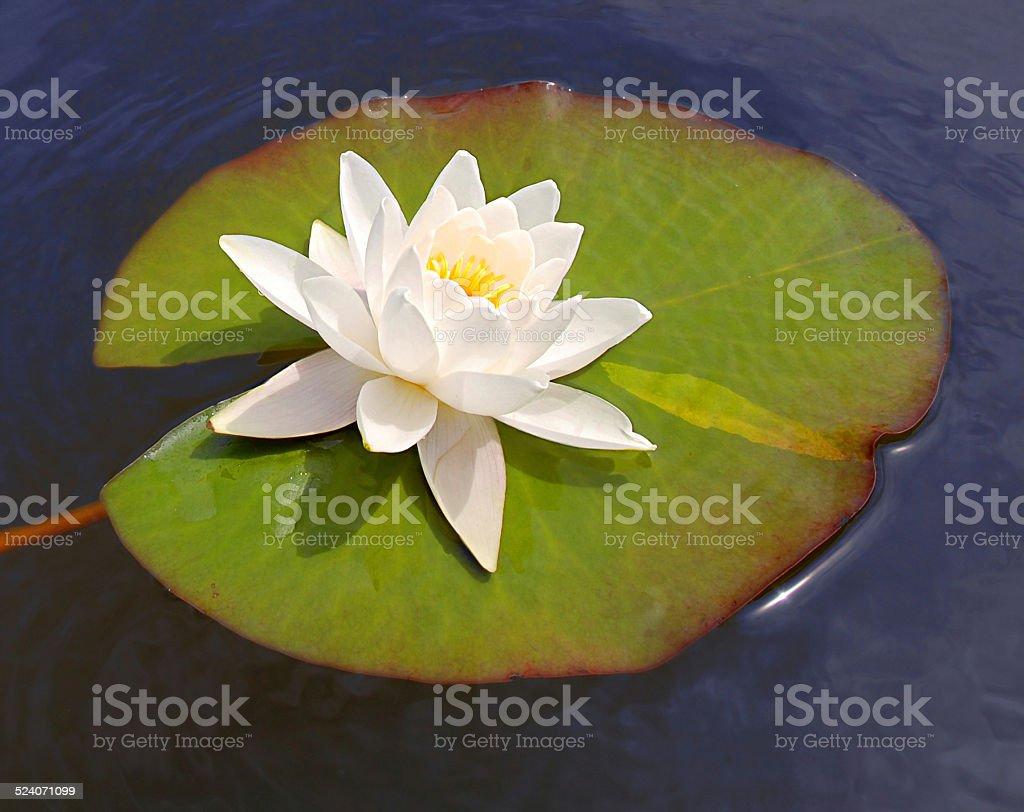 Lys blanc flottant sur l'eau bleue photo libre de droits