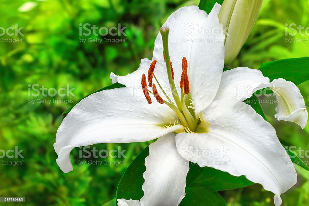 white lily flower in a garden close up stock photo