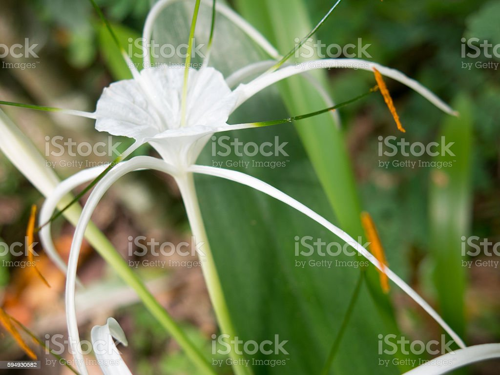 White lily flower plant poisonous thailand stock photo 594930582 crinum augustum white lily flower plant poisonous thailand royalty free stock photo dhlflorist Choice Image