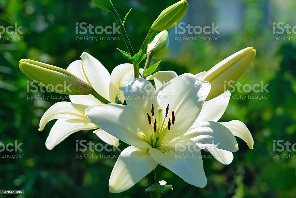 White lily flowers stock photo