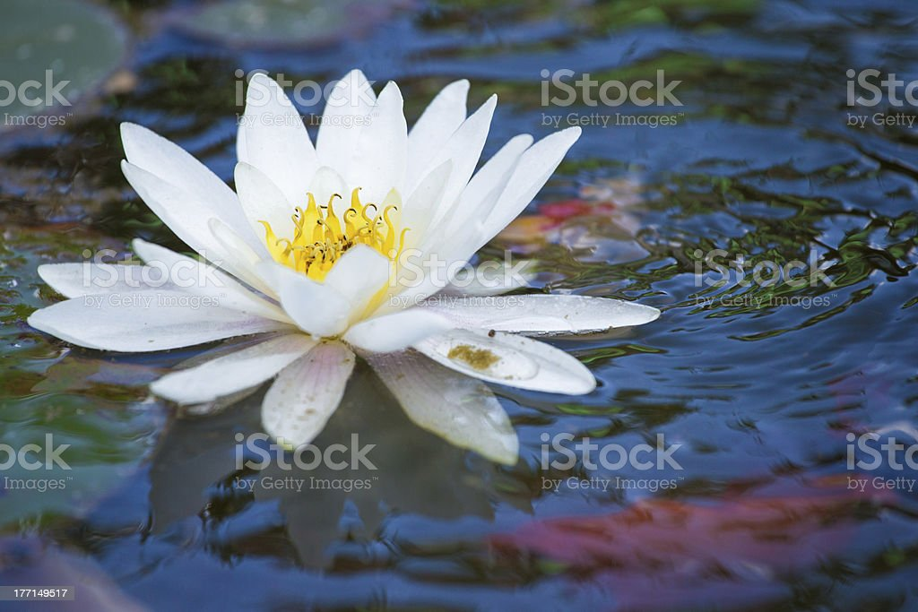 White lily in a fish pond royalty-free stock photo