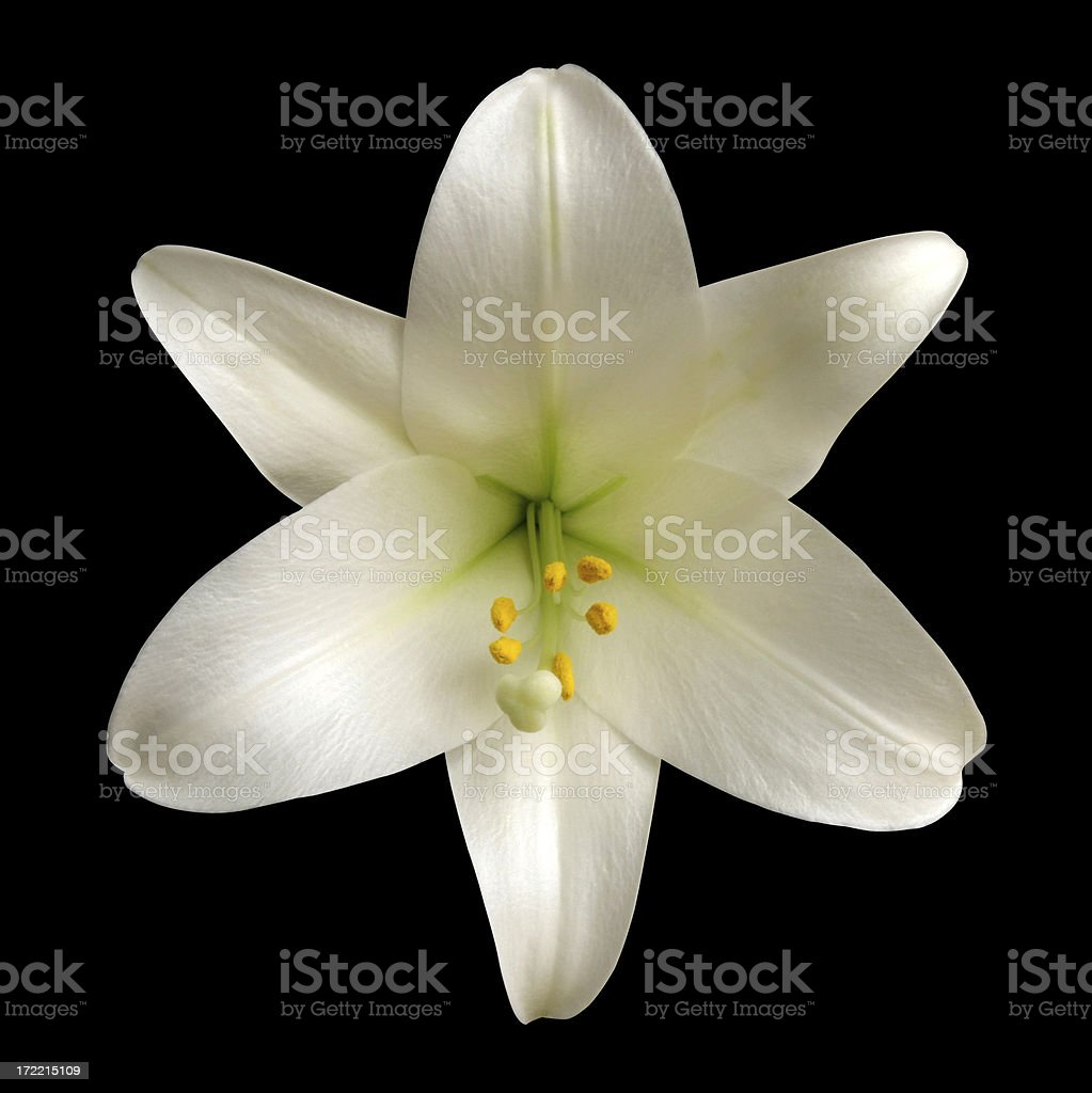 White Lily Isolated on Black with Clipping Path stock photo