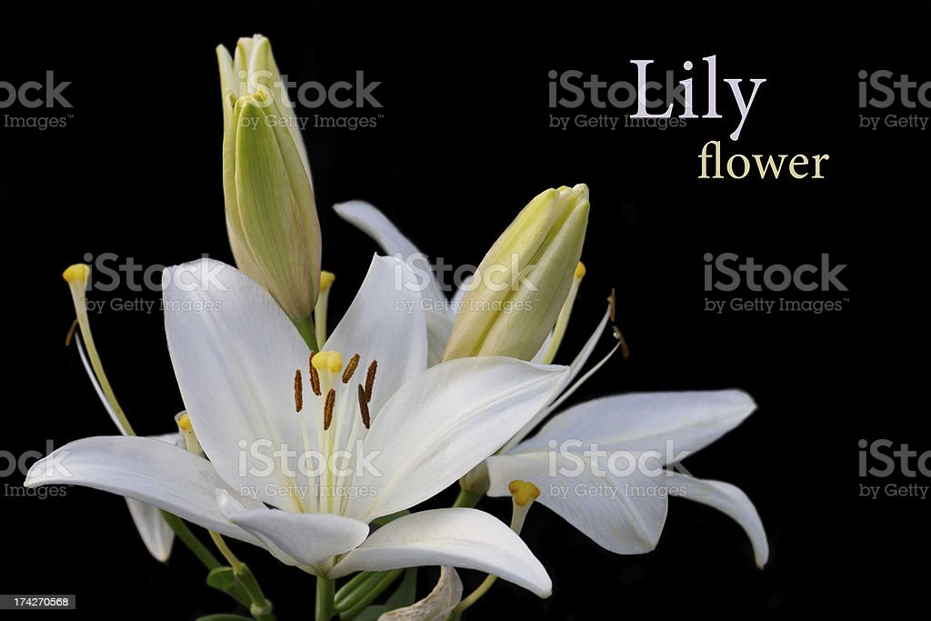 White lily on black Background stock photo
