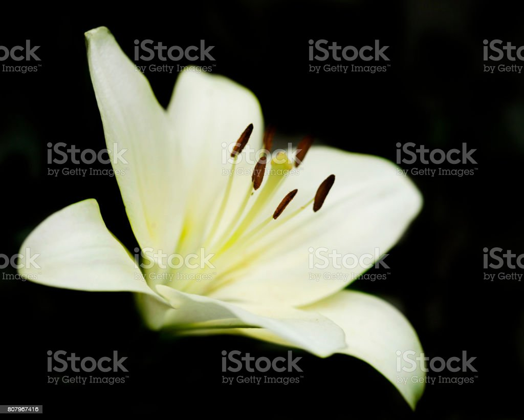 white lily on black background stock photo