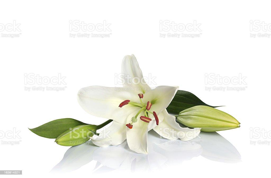 White lily royalty-free stock photo