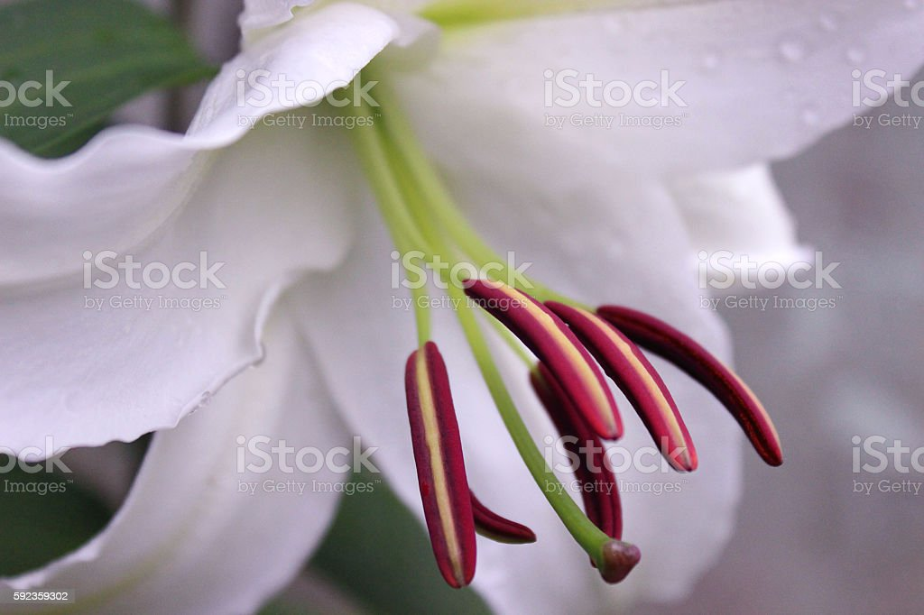 White Lily (Liliaceae) stock photo