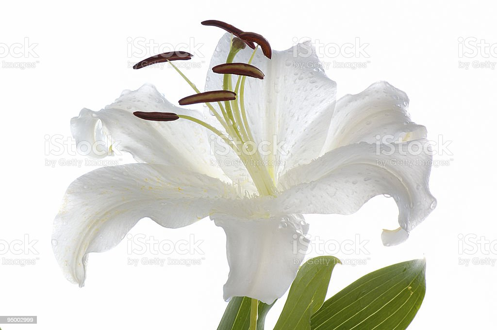 white  lily royalty-free stock photo