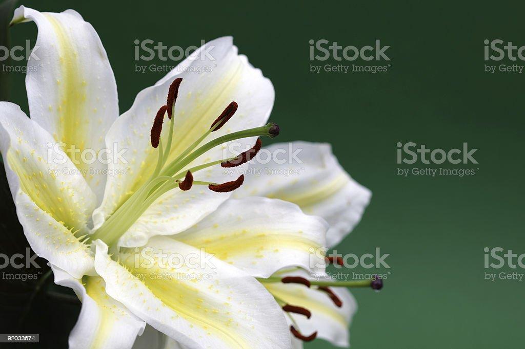 Белая лилия с местом для копии Стоковые фото Стоковая фотография