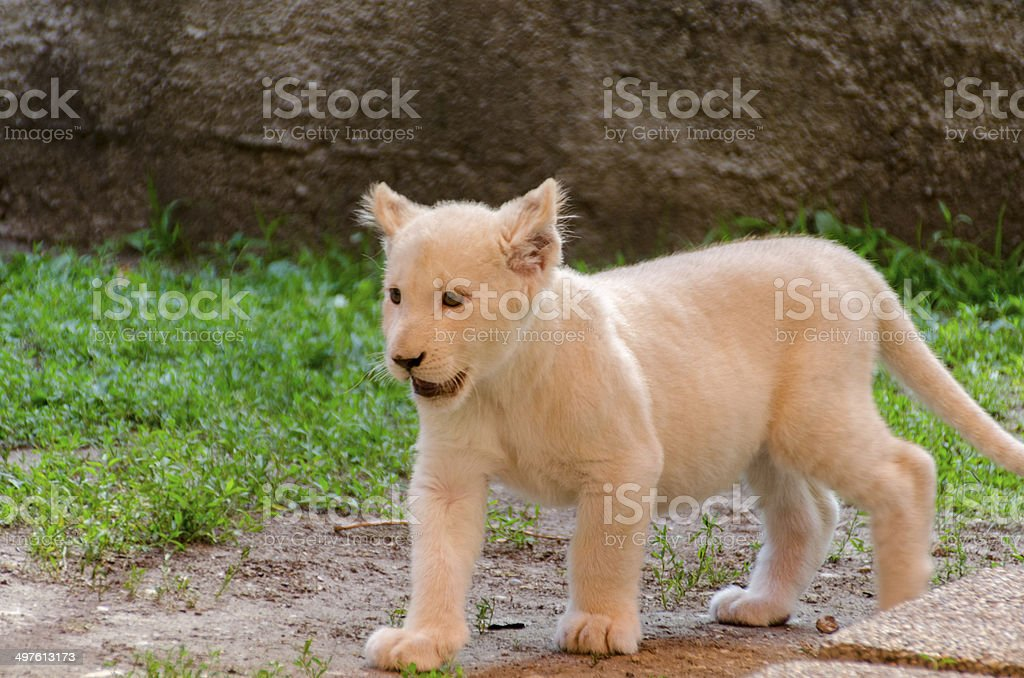 White Lion Cub royalty-free stock photo