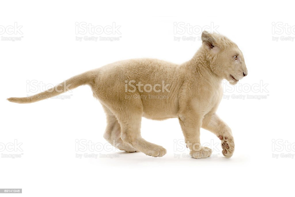white Lion Cub (5 months) royalty-free stock photo