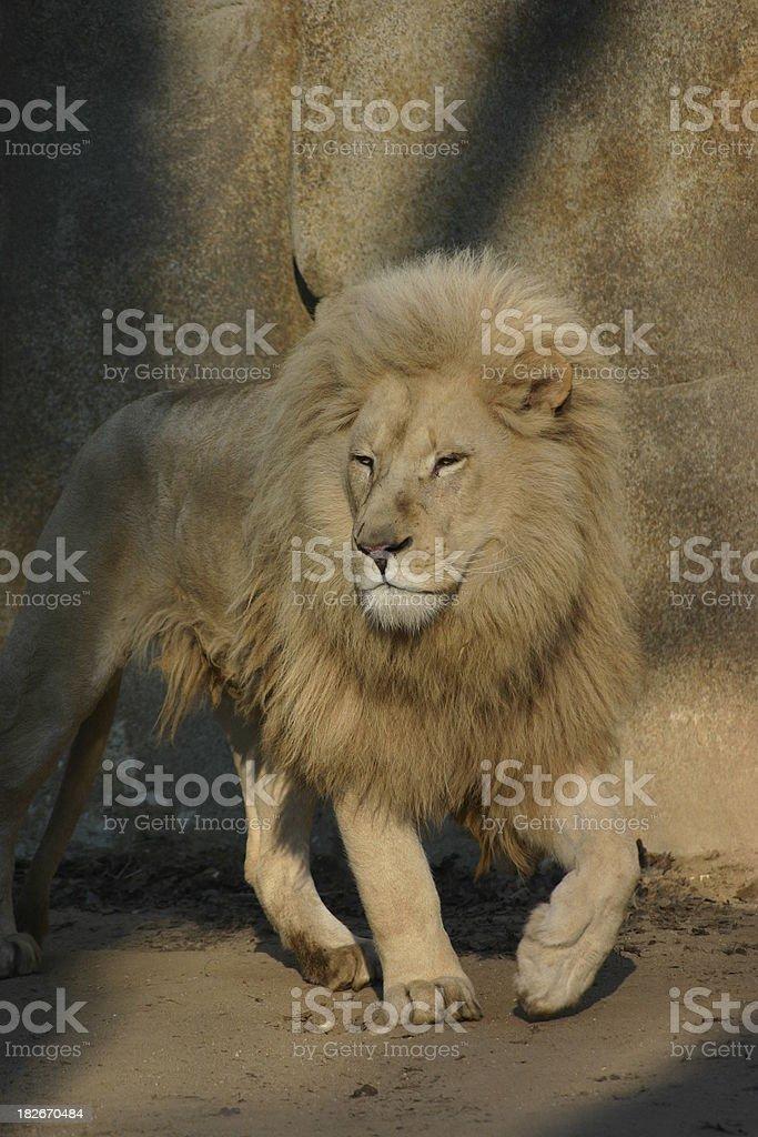 white lion III royalty-free stock photo