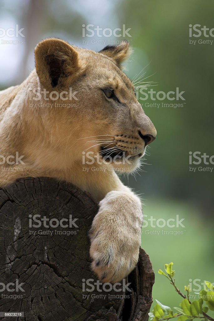 White Lion in the trees royalty-free stock photo
