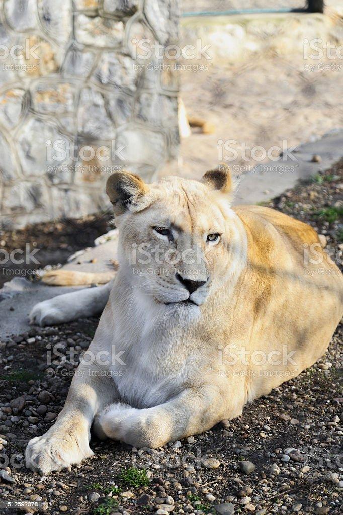 White Lion lying down stock photo