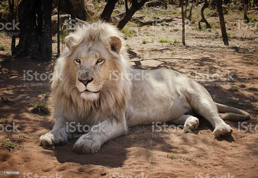 White lion royalty-free stock photo