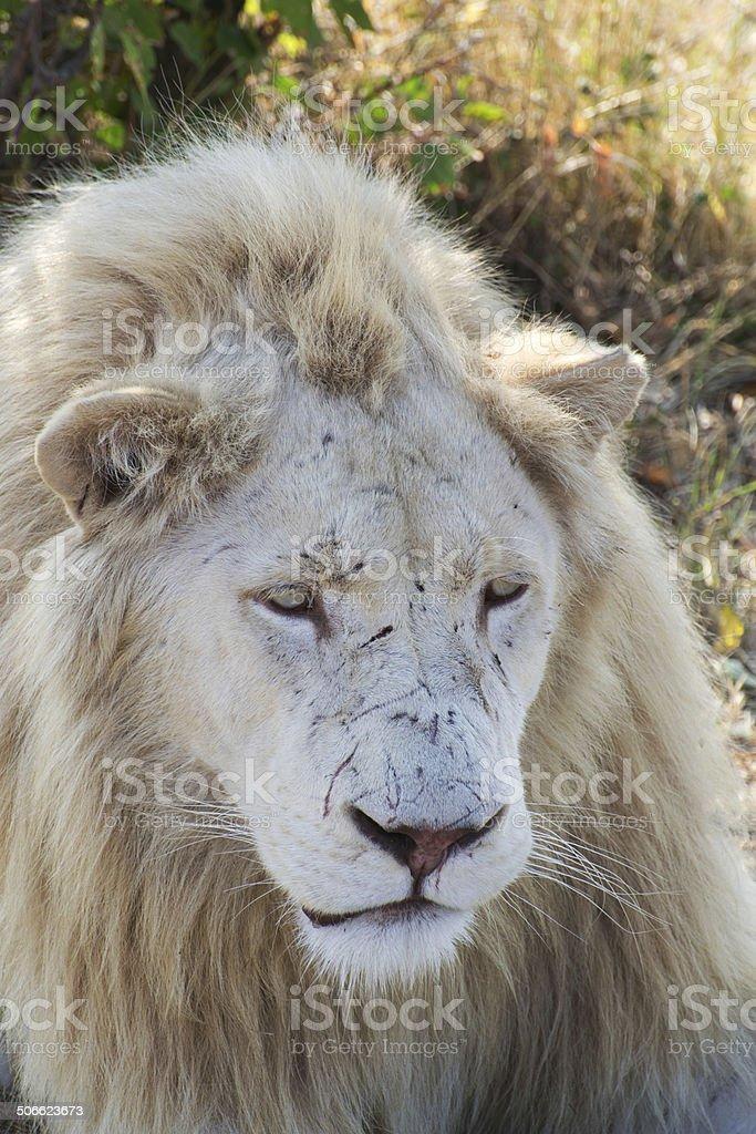 Retrato de león blanco foto de stock libre de derechos