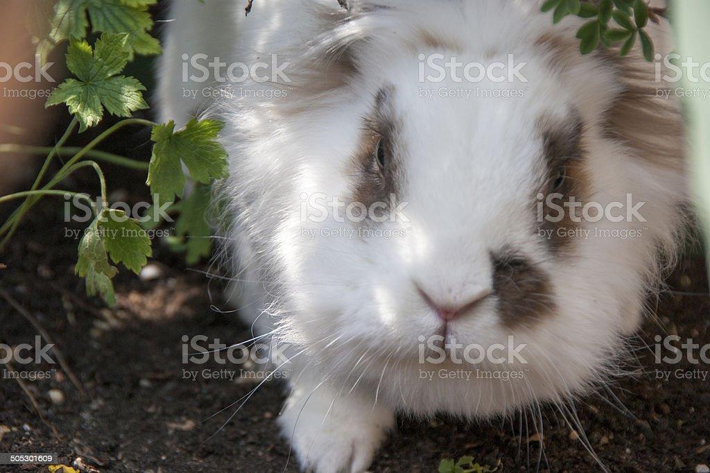 White Lionhead Rabbit royalty-free stock photo