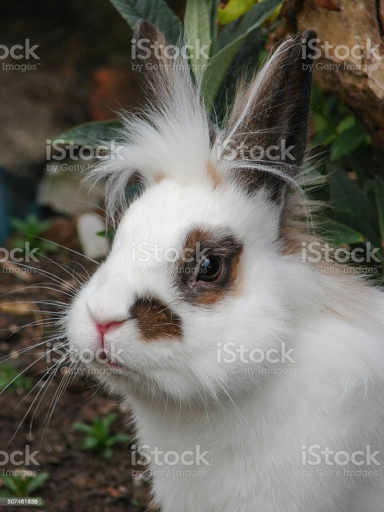 White Lionhead Rabbit with brown markings stock photo