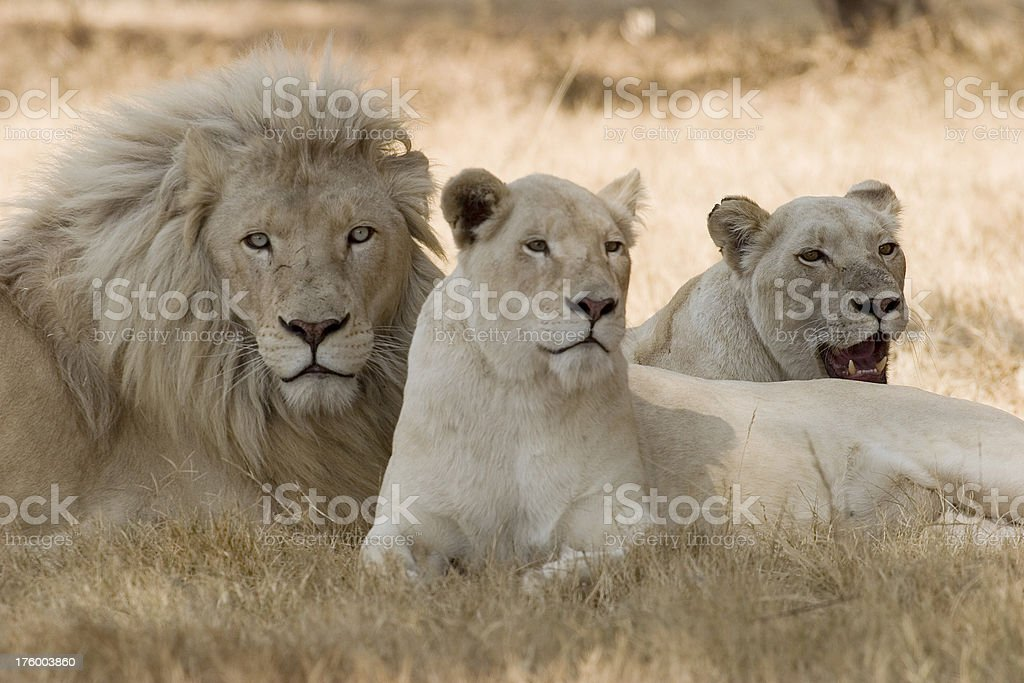 White Lions royalty-free stock photo