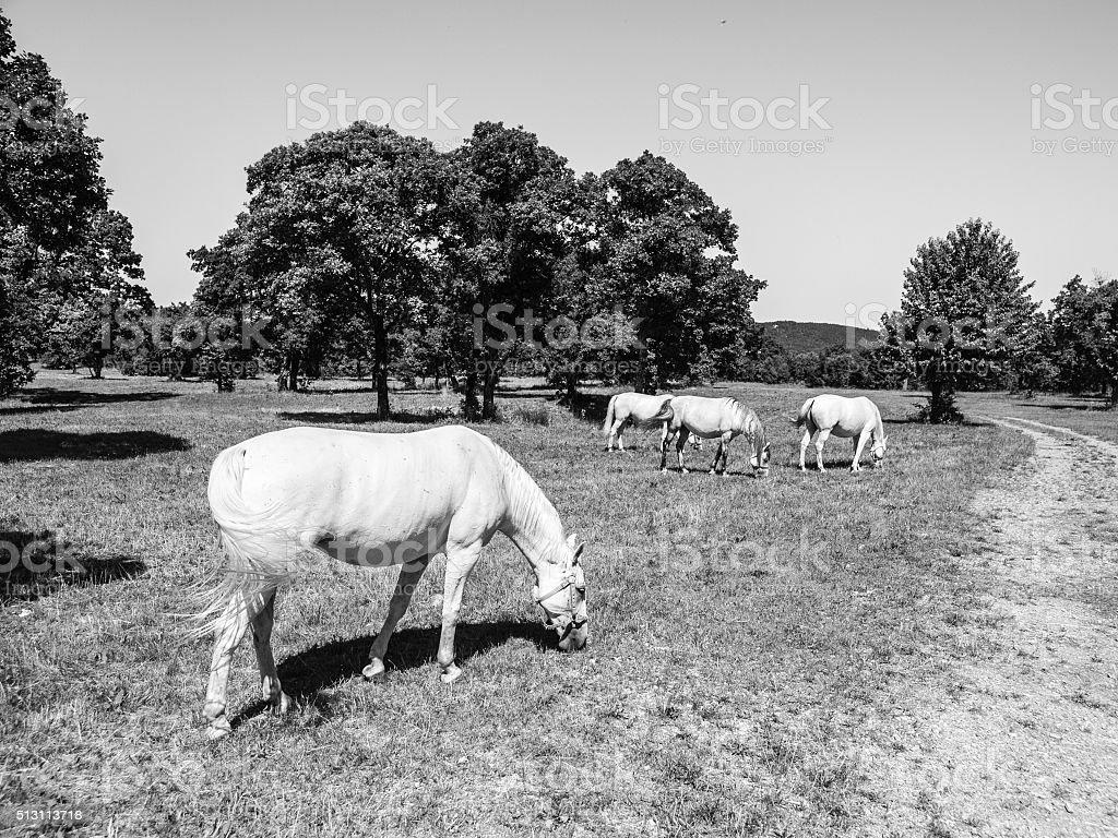 White Lipizzaner Horses stock photo