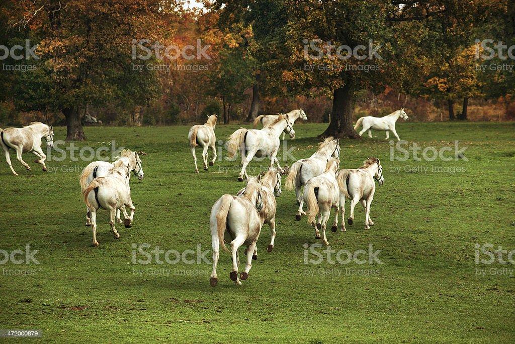 white lipizzaners horses herding stock photo