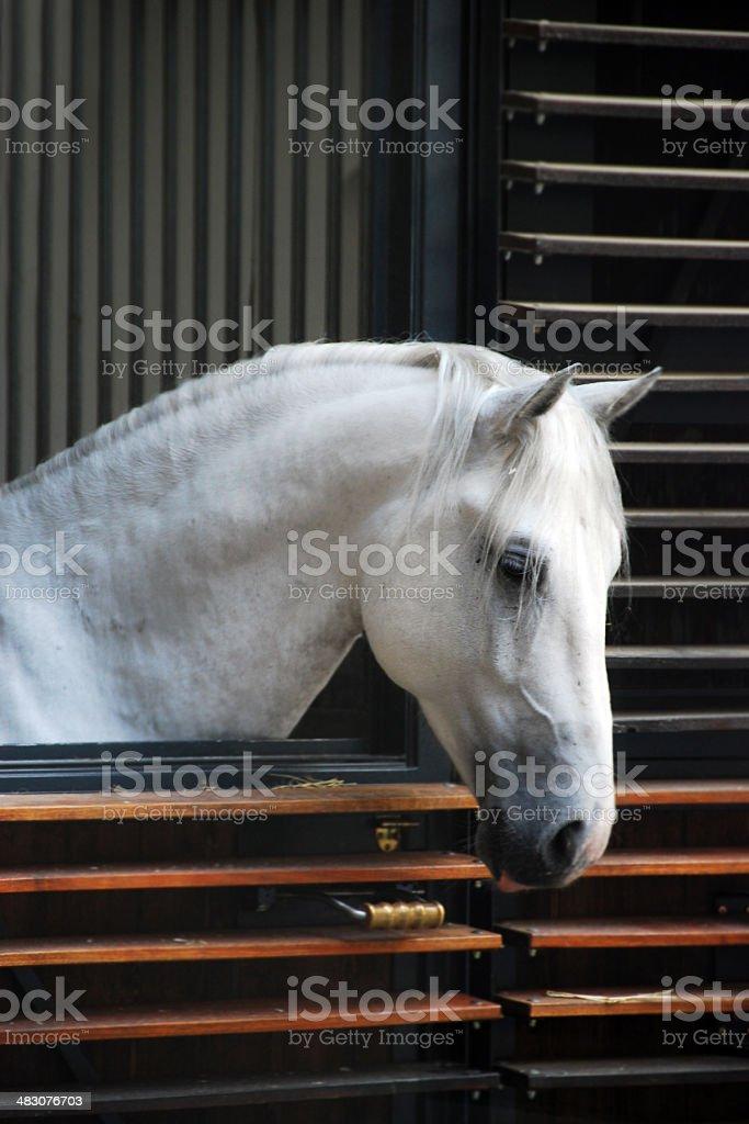 White Lippizan Horse Stallion stock photo
