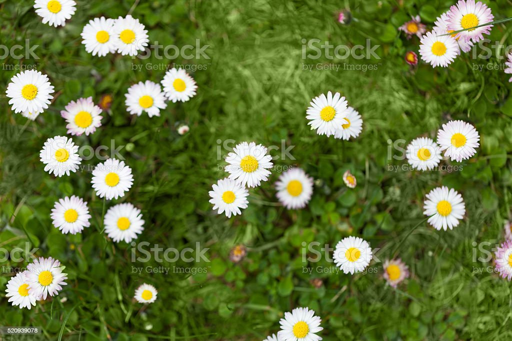 white little daisies in garden stock photo