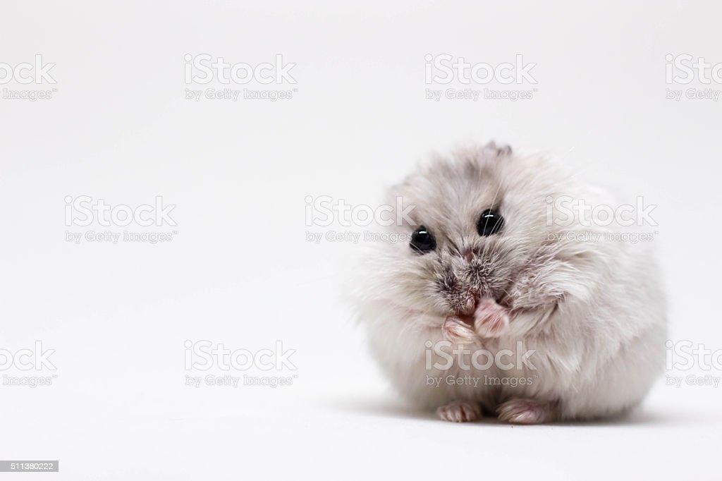 White little hamster stock photo