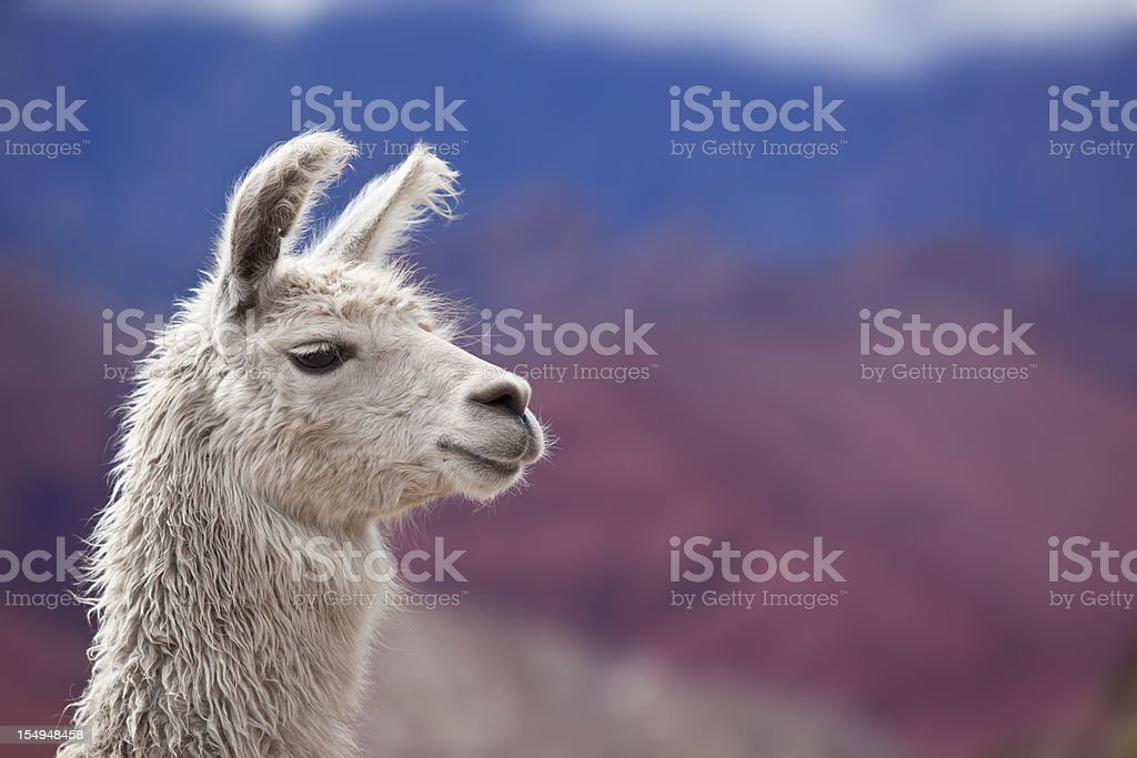 White llama in argentina south america royalty-free stock photo