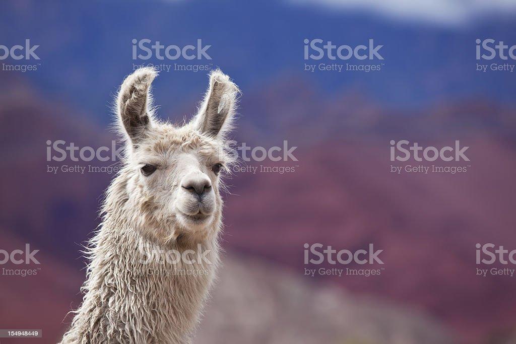White llama in argentina south america Salta province stock photo