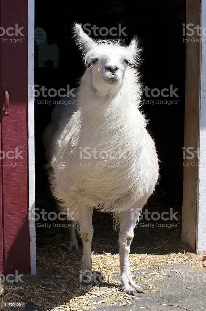 White llama royalty-free stock photo