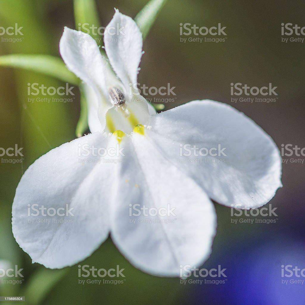 White Lobelia stock photo