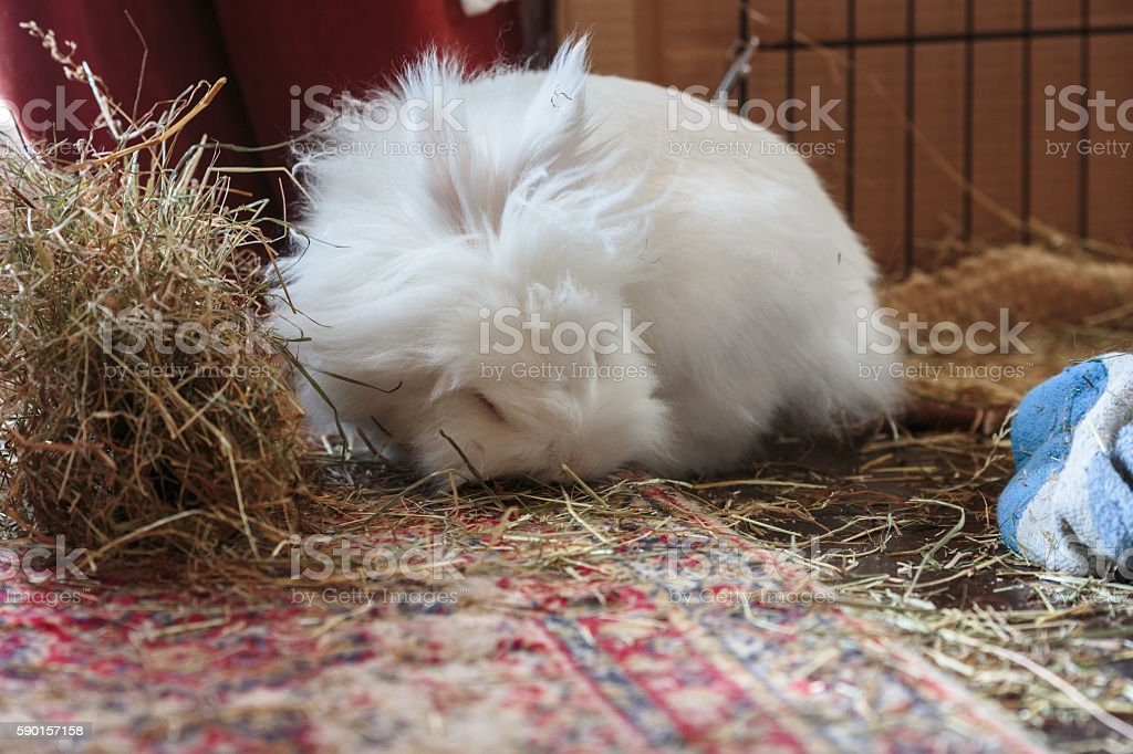 White long haird lion-head rabbit eating hay stock photo