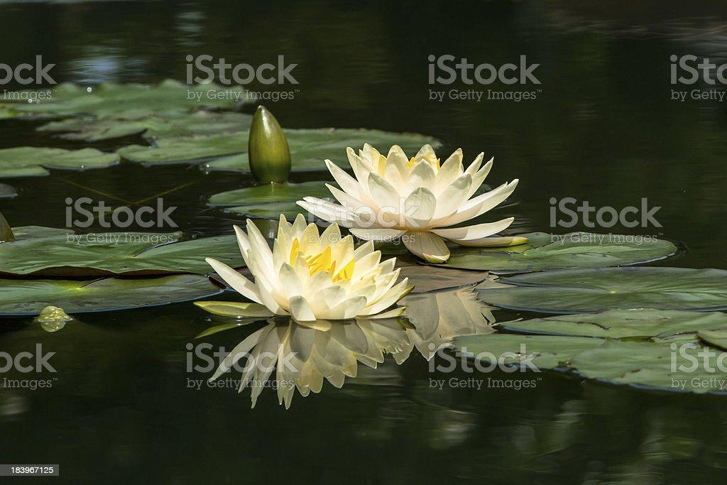 white lotus blossoms royalty-free stock photo